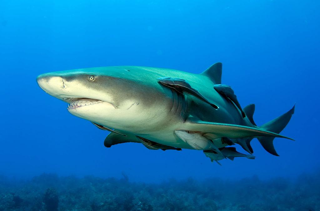 Tiburón limón con varias rémoras adosadas ( https://commons.wikimedia.org/wiki/File:Lemonshark.jpg )